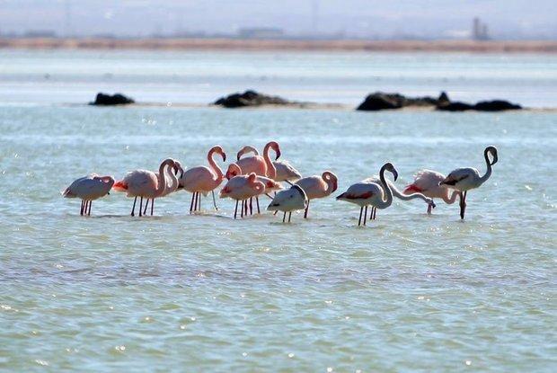 حال پرندگان مهاجر تالاب میقان اراک خوب است، تلفاتی گزارش نشد